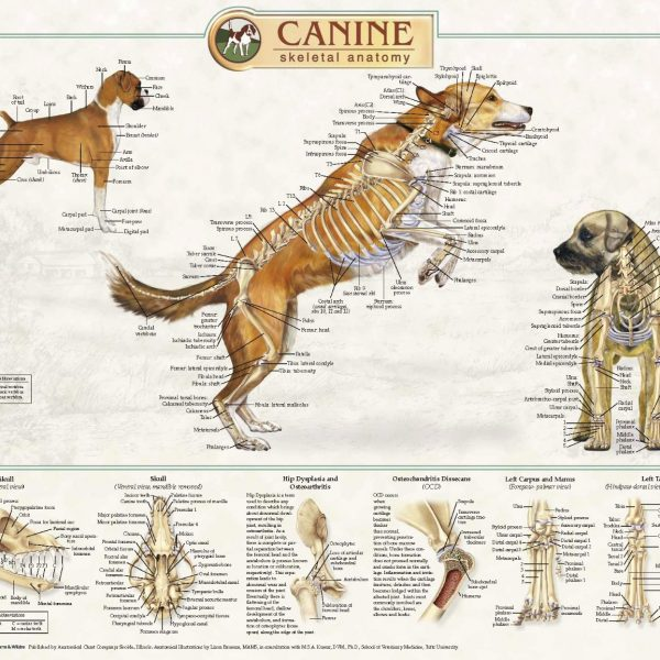 Anatomical Chart Company CANINE ANATOMICAL POSTERS-0