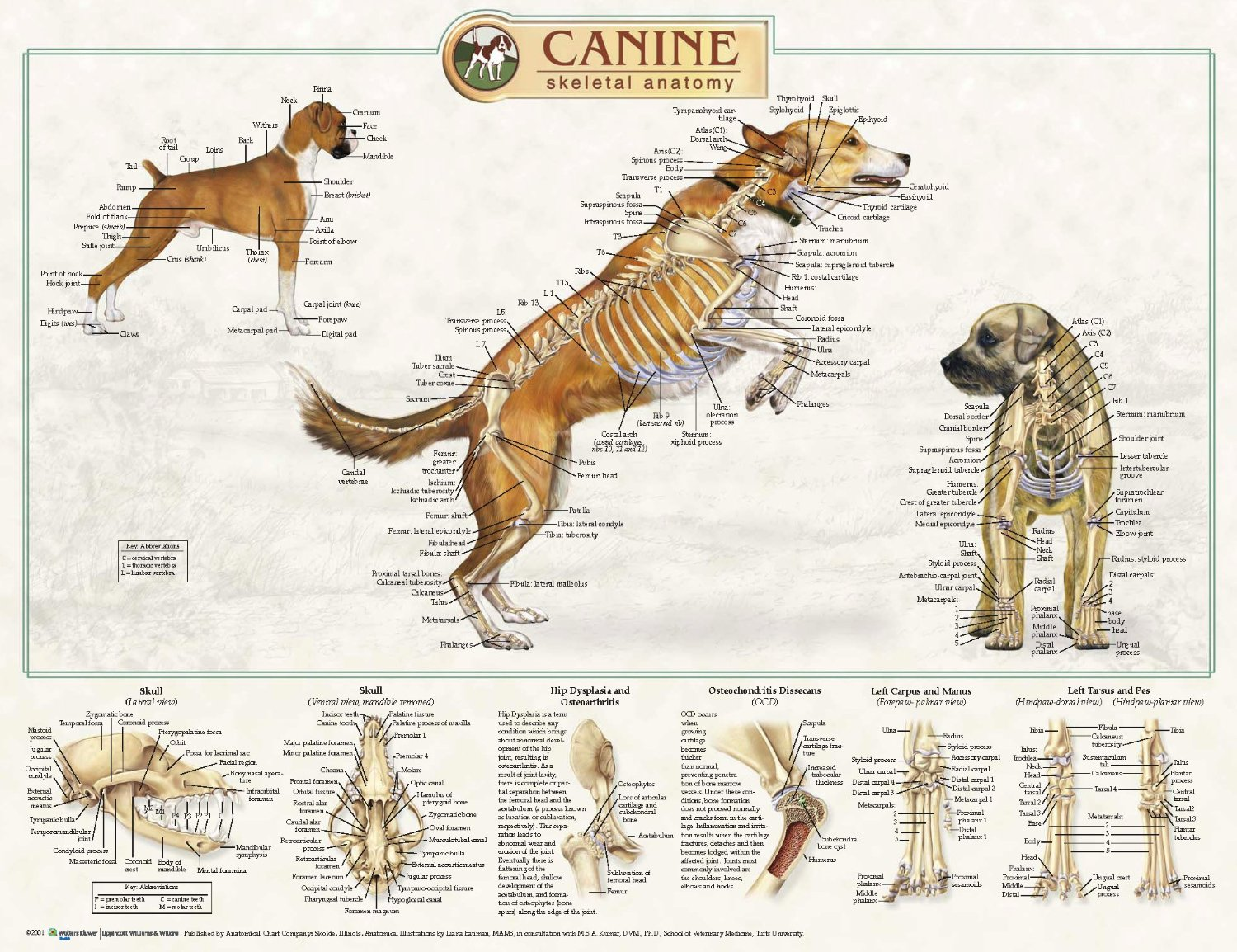 Anatomical Chart Company CANINE ANATOMICAL POSTERS | K9-Massage.co.uk