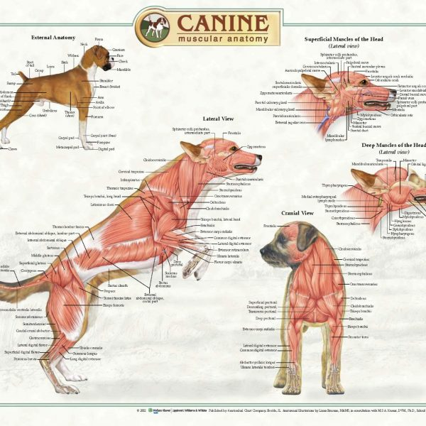 Anatomical Chart Company CANINE ANATOMICAL POSTERS-278