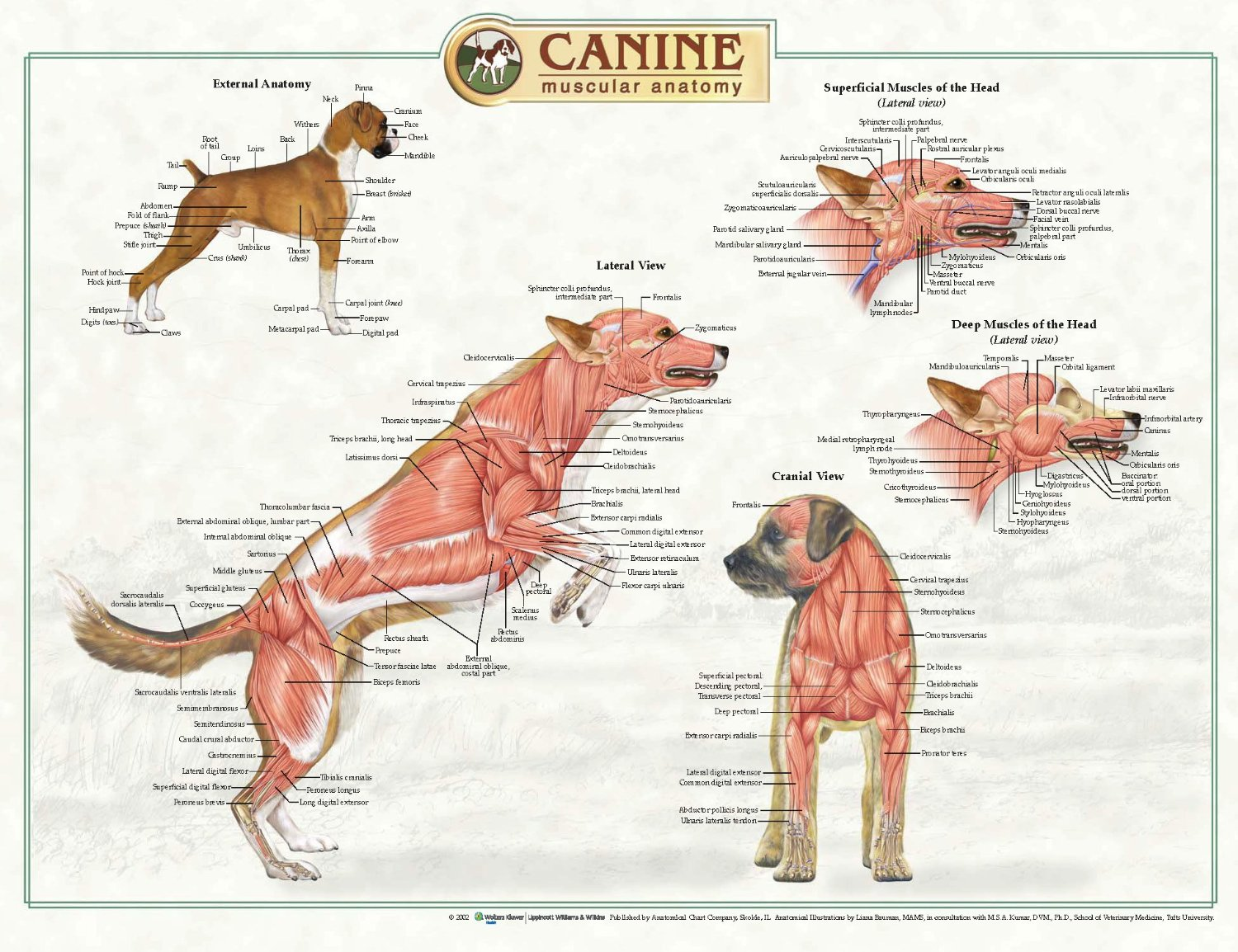 Anatomical Chart Company Canine Anatomical Posters K9 Massage