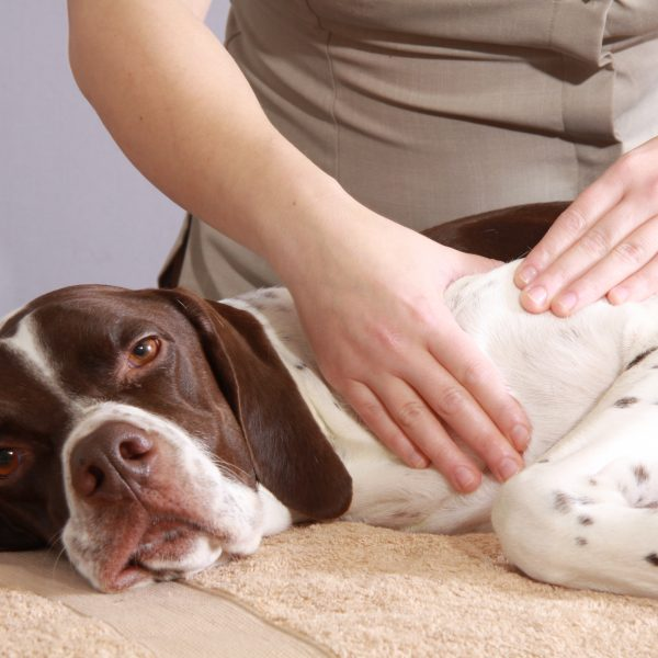 CANINE MASSAGE IN 3 EASY STEPS DVD-301